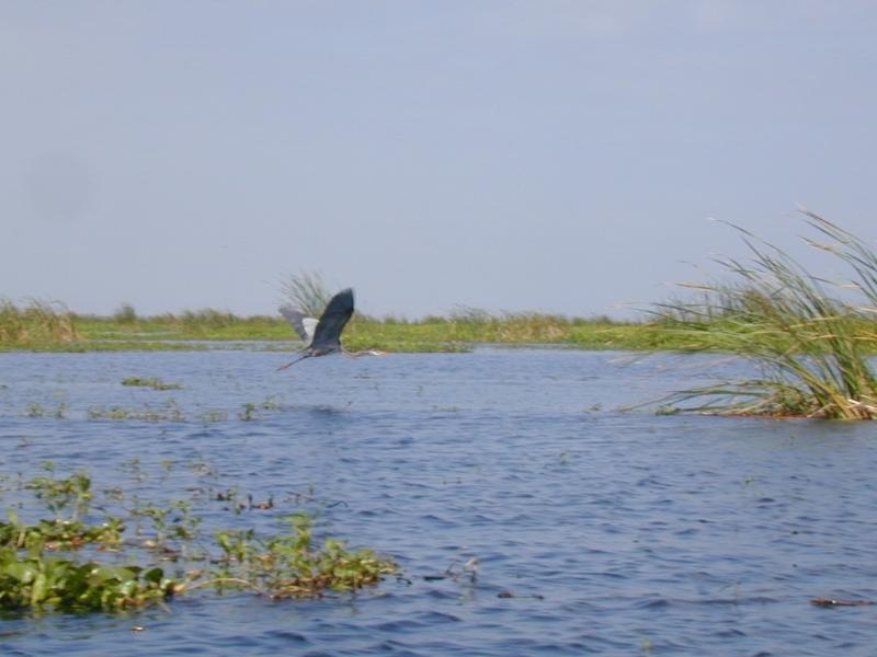 Lake okeechobee wildlife pictures sightseeing for Lake okeechobee fishing